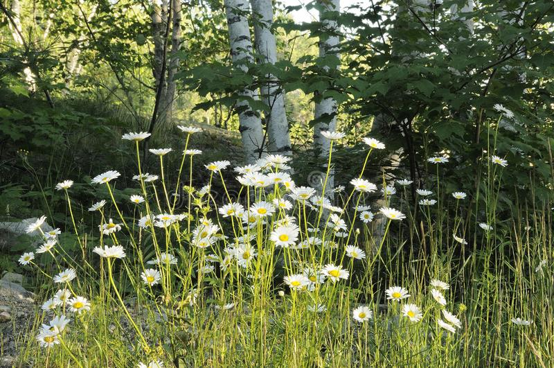 Scenery of Summer photo stock.  Marguerites Wildflowers Meadow photos. Photos of summer season.  Summer season. Marguerites Wildflowers Meadow, foliage with royalty free stock image
