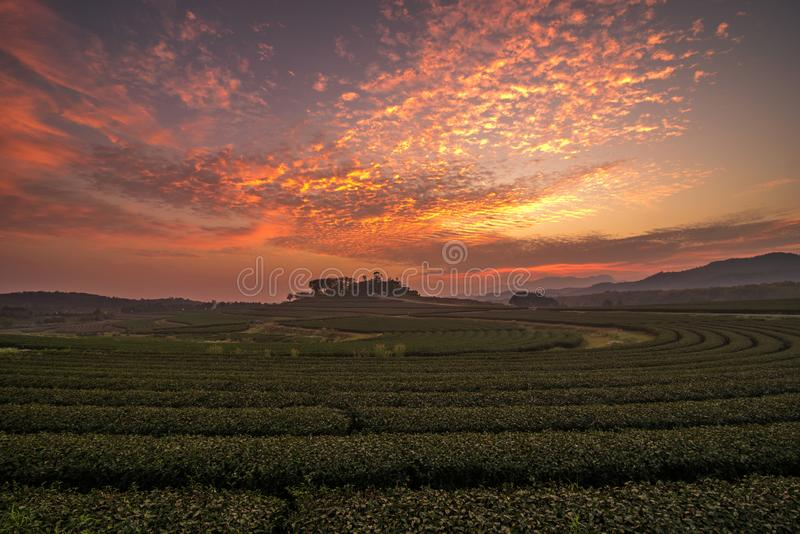 The scenery of tea plantation in sunset time with a beautiful twilight sky in Chiang Rai, Thailand.  stock photo