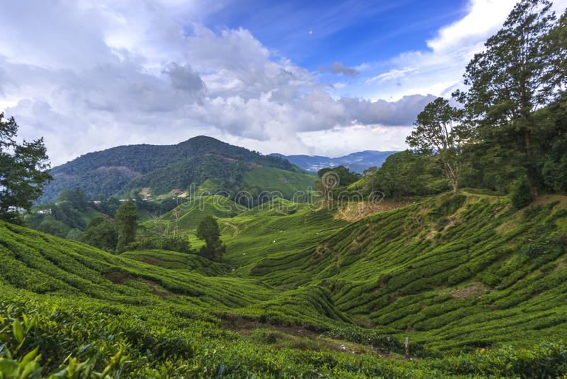 Scenery at tea plantation valley during daytime. At Cameron Highlands royalty free stock image
