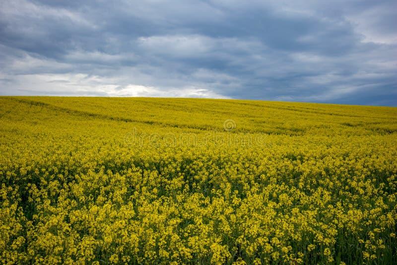 Yellow oilseed rape field under dramatic sky stock photo