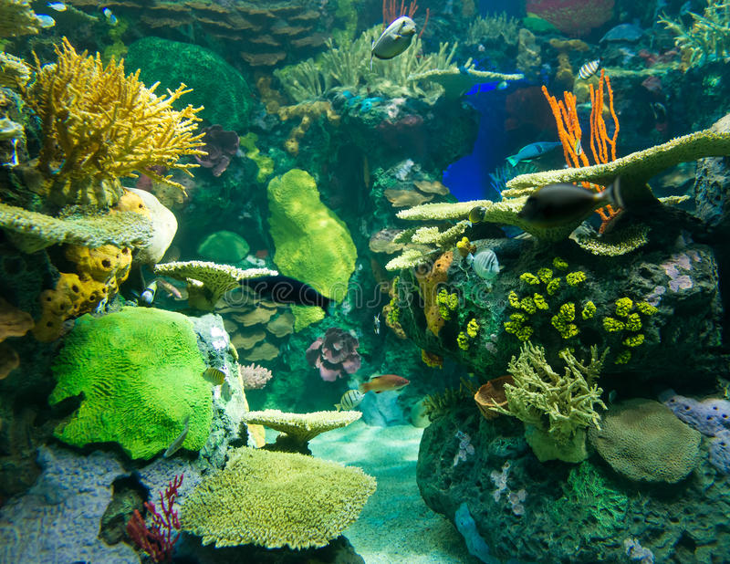 Scenes of the coral reef. Coral reefs are underwater structures made from calcium carbonate secreted by corals. Coral reefs are colonies of tiny animals found in royalty free stock photography