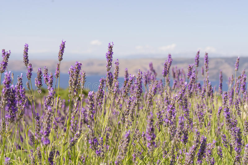 Scenes of Lavender on the Hvar Old Road royalty free stock image