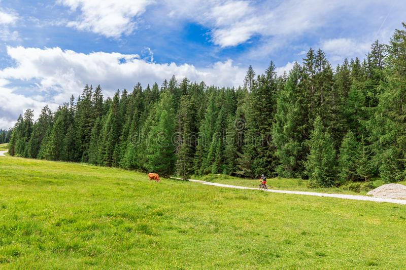 Scenic alpine view with grazing cow in a meadow and a mtb cyclist on a rural road. Italian Dolomites. Italian Alps royalty free stock image