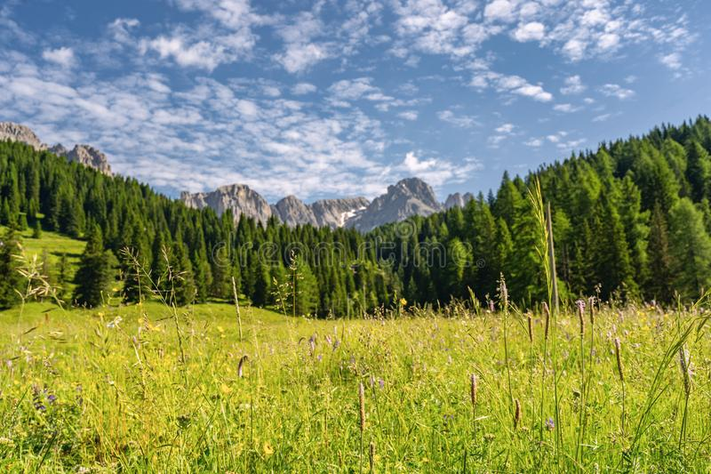Scenic Alps with green forest and grass on field near mountain. Beautiful nature with green grass on field, pine tree forest and high rocky mountain under blue royalty free stock image