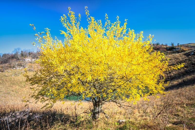 Scenic autumn sunny day blue sky landscape of Cheshe mountain lake and tree with yellow leaves on Chernogor Mount in West Caucasus. Scenic autumn sunny day blue royalty free stock image