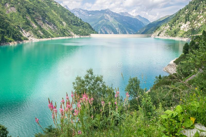 Turquoise or emerald colored reservoir lake in the Alps. Scenic blue lake `Zillergrund` in Tirol, Austria with flowers in the foreground royalty free stock image