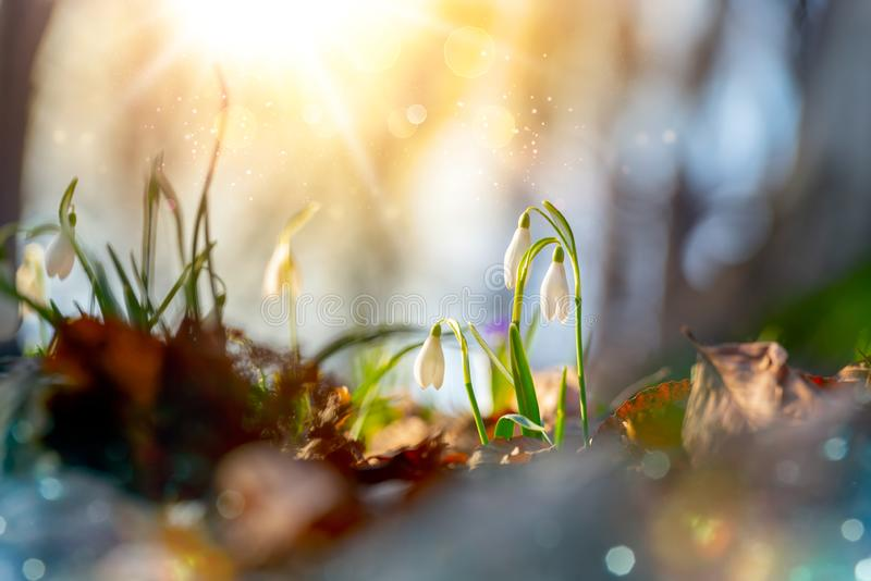 Scenic close up of common snowdrops Galanthus nivalis spring flowers blooming under the warm sunrays, with beautiful forest stock images