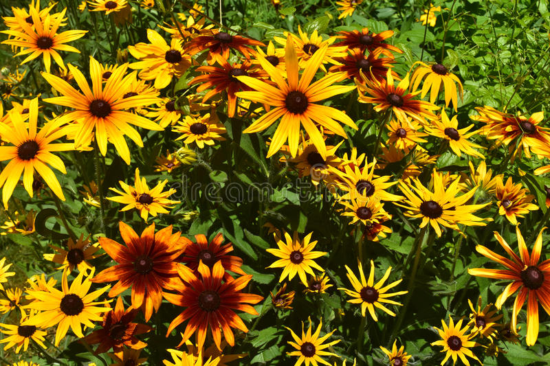 Scenic Close Up View of Beautiful Black Eyed Susans stock photography