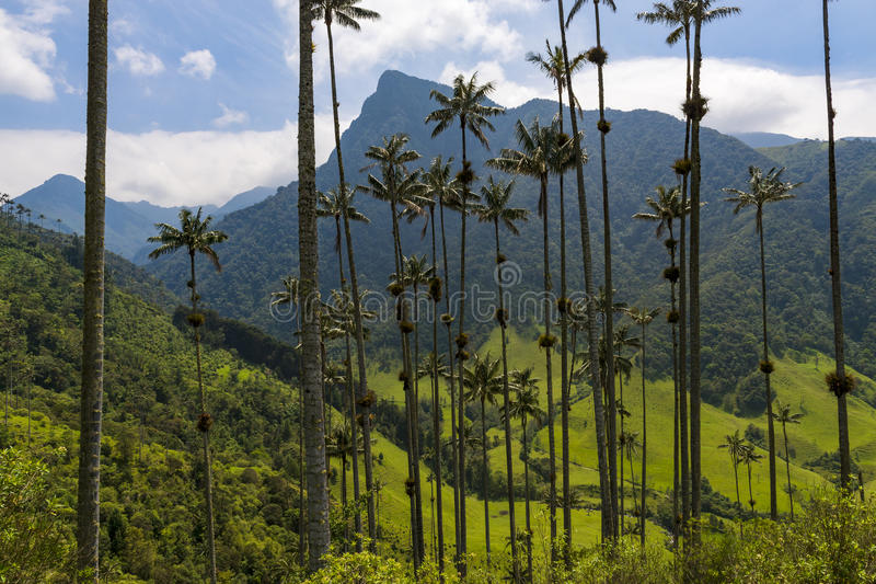 The scenic Cocora Valley with Quindio wax palm trees on the foreground, in Colombia. View of the scenic Cocora Valley with Quindio wax palm trees on the stock image
