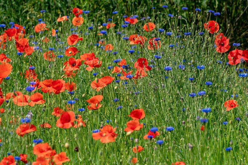 Red corn poppies and blue cornflowers royalty free stock image