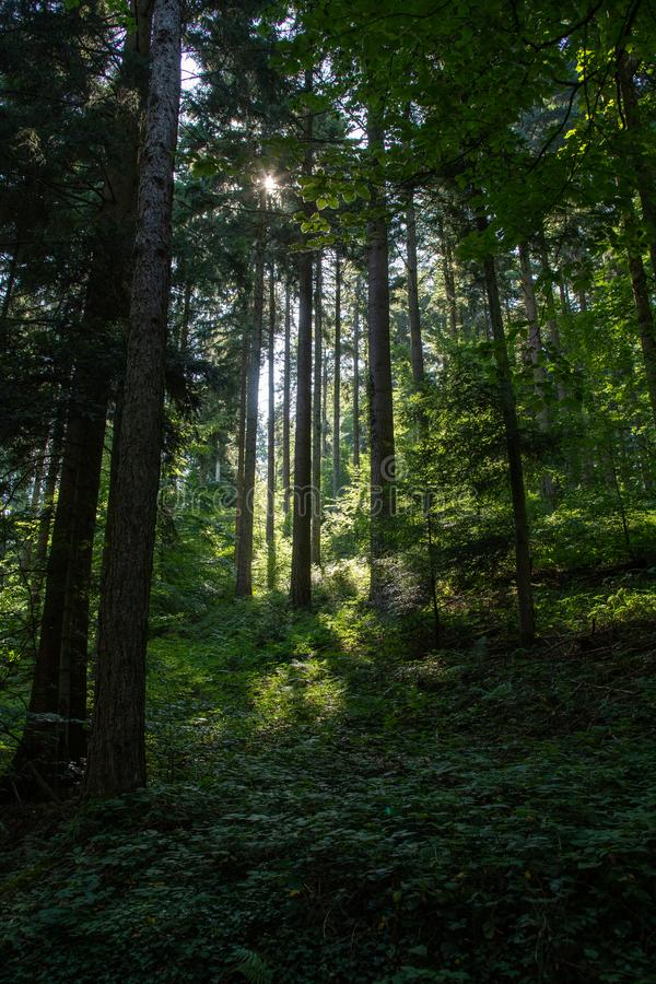 Scenic forest of fresh green deciduous trees framed by leaves, with the sun casting its warm rays stock photography