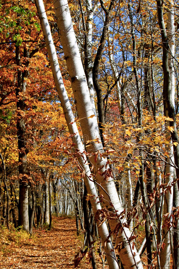 Scenic Forest in Indiana. Stunning autumn colors in Indiana forest royalty free stock image