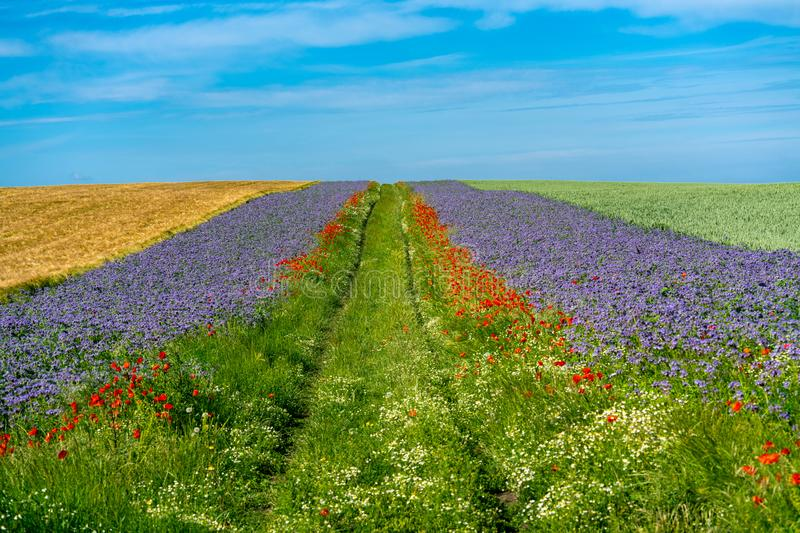 Scenic grain fields with borders of blue and red flowers stock photography