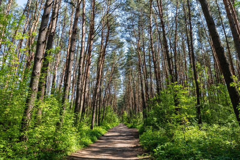Scenic gravel road in beautiful green summer pine trees forest. With green bushes surrounding stock photos