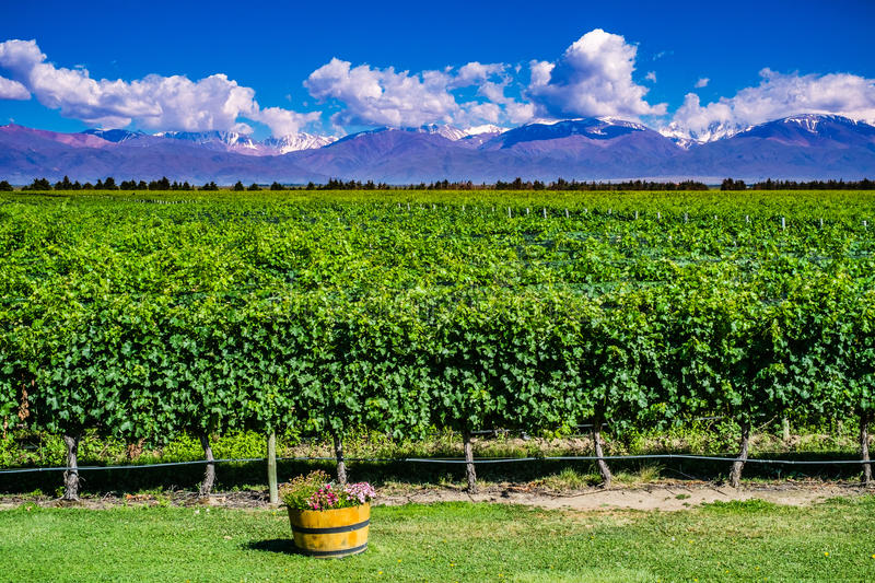 Scenic Landscape with Andes Mountains with Snow and Vineyard on. The foreground in Mendoza, Argentina royalty free stock photo