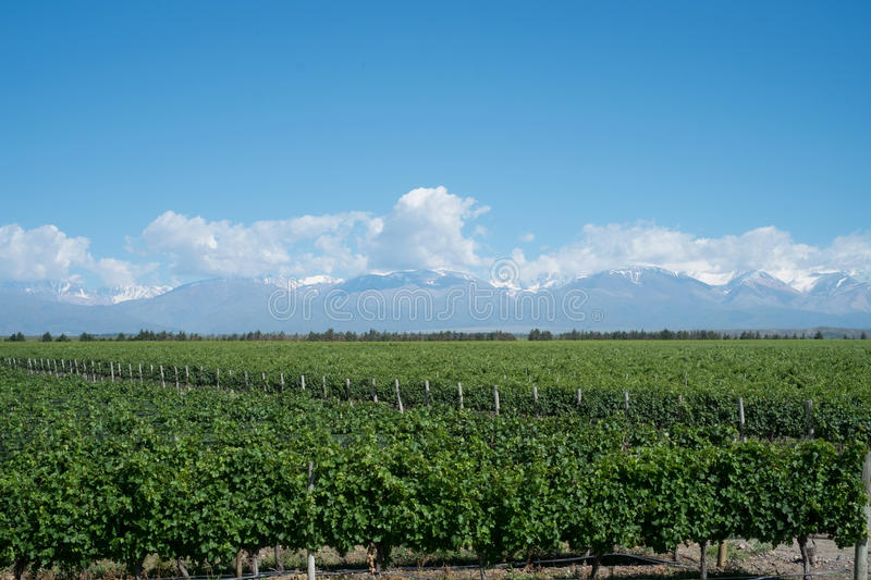 Scenic Landscape with Andes Mountains with Snow and Vineyard on. The foreground in Mendoza, Argentina stock photo