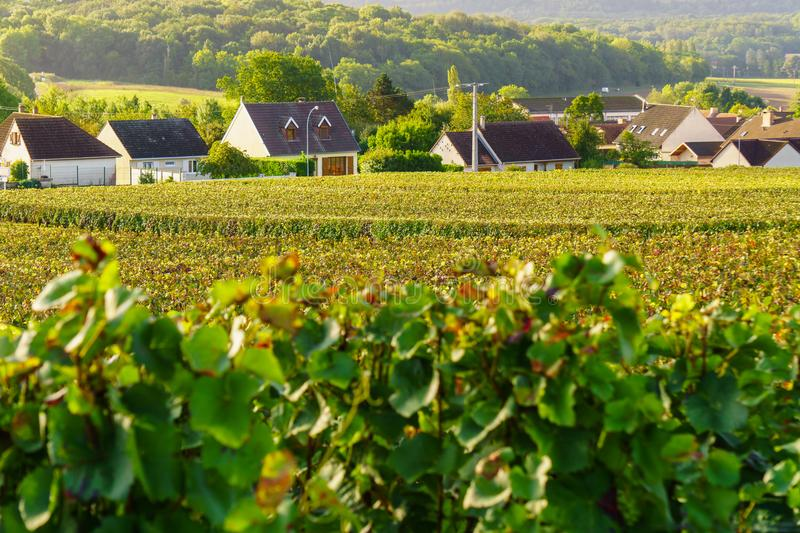 Scenic landscape in the Champagne, Vineyards in the Montagne de Reims stock images