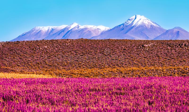 Scenic landscape with flowering plants in the foreground and the snow-capped volcano stock photography