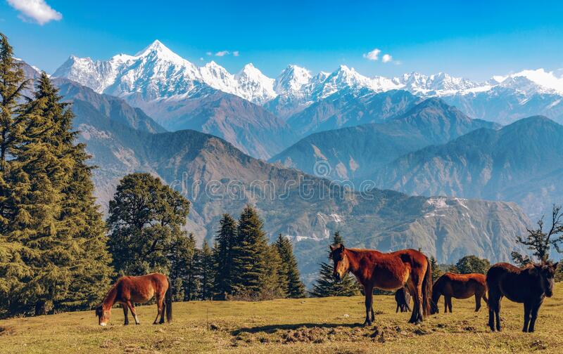 Wild horses graze Himalayan meadows with view of Himalaya mountain range at Uttarakhand India. Scenic landscape with wild horses and majestic Himalayan royalty free stock image