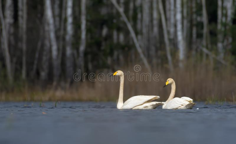 Picturesque look at pair of adult whooper swans swimming close to each other with white feathers and plumage royalty free stock photography