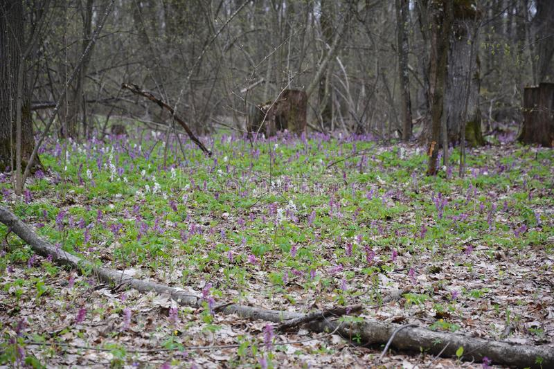 Scenic magical spring forest background of violet and white hollowroot Corydalis cava early spring wild flowers in bloom stock image