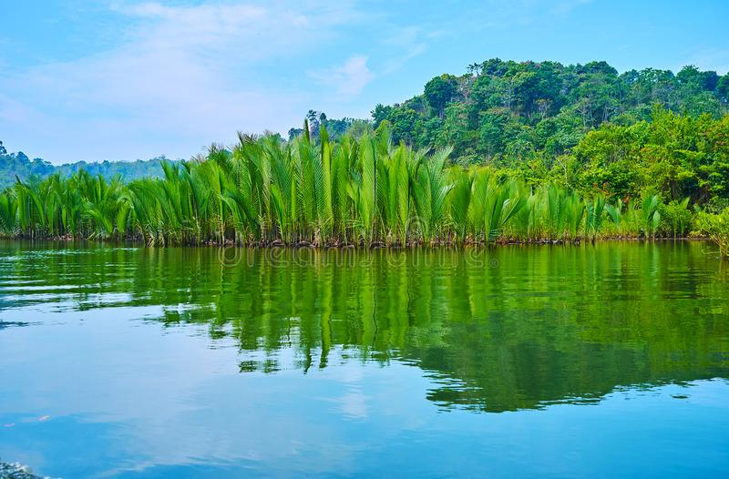 Nipa forest, Kangy river, Myanmar royalty free stock images