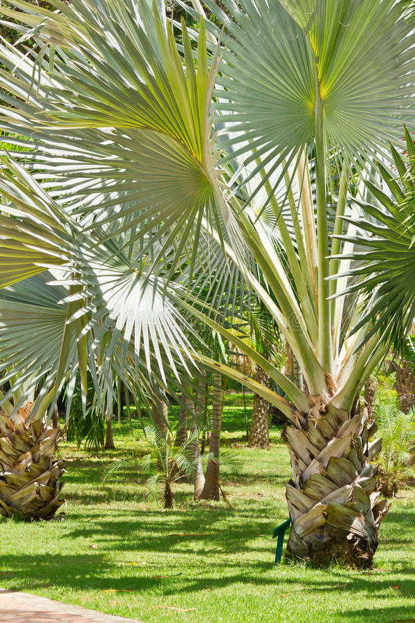 Download Scenic Palm Tree In Afternoon Daylight Royalty Free Stock Images - Image: 31308379