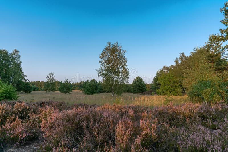 Scenic panorama of a german heather landscape in autumn with purple flowering erica plants royalty free stock images
