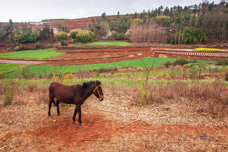 Scenic rural south Yunnan, China, local brown horse standing on the Red Land of Dongchuan, vegetable garden, wheat field and royalty free stock image