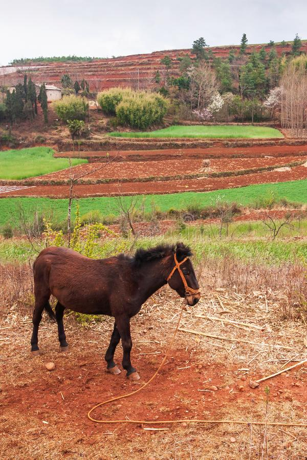Scenic rural south Yunnan, China, local brown horse standing on the Red Land of Dongchuan, vegetable garden, wheat field and stock photo