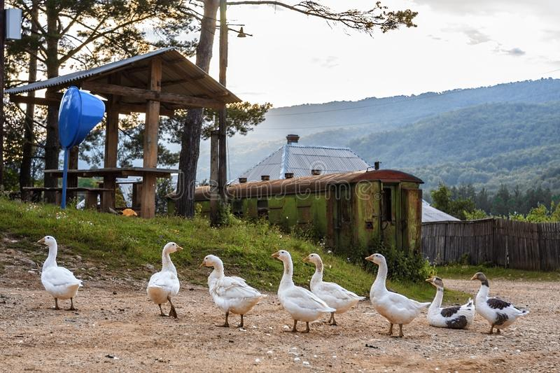 Scenic rustic landscape of a peasant village with white geese grazing at summer. Peaceful life at Russian Caucasus mountain. Countryside. Mezmai village royalty free stock photos