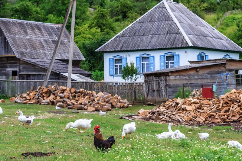 Scenic rustic landscape of peasant village at Russia with geese and rooster grazing outdoors at summer. Peaceful authentic. Scenic rustic summer landscape of royalty free stock photos