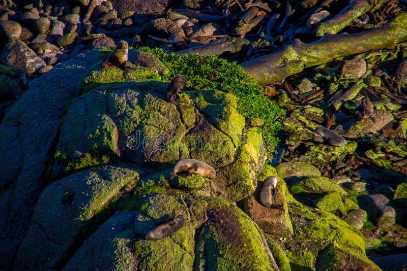 Scenic Seal Colony Tauranga Bay in West Coast, New Zealand.  royalty free stock image