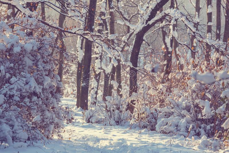 Winter forest. Scenic snow-covered forest in winter season. Good for Christmas background royalty free stock photography