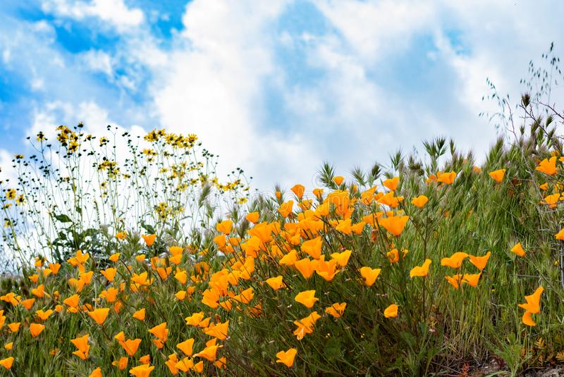 Scenic spring landscape of bright orange vibrant vivid golden California poppies, seasonal native plantset against clouds and sky. Scenic springtime landscape of stock photos