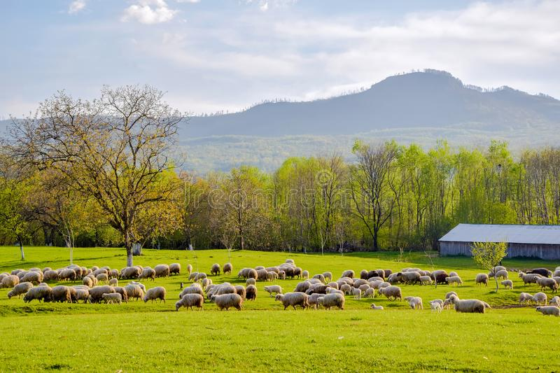Scenic spring rural landscape with sheep pasturage on foreground in Sapanta village, Maramures, Romania. Scenic spring rural landscape with mountains on stock photos