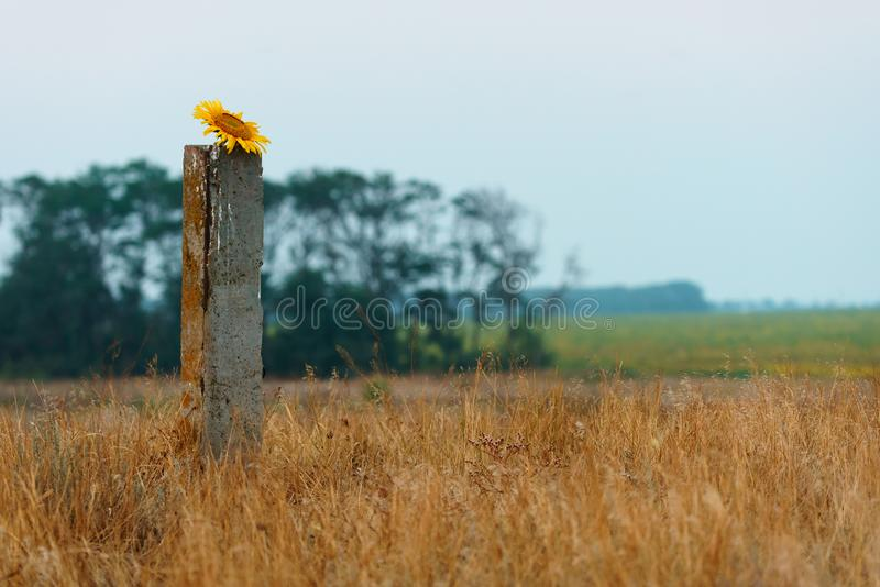 Scenic summer sunset countryside landscape with blooming sunflower. Head. Anapa, Russia stock image