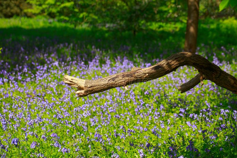 Scenic view of a bluebell covered meadow with a large broken tree branch in the foreground royalty free stock images