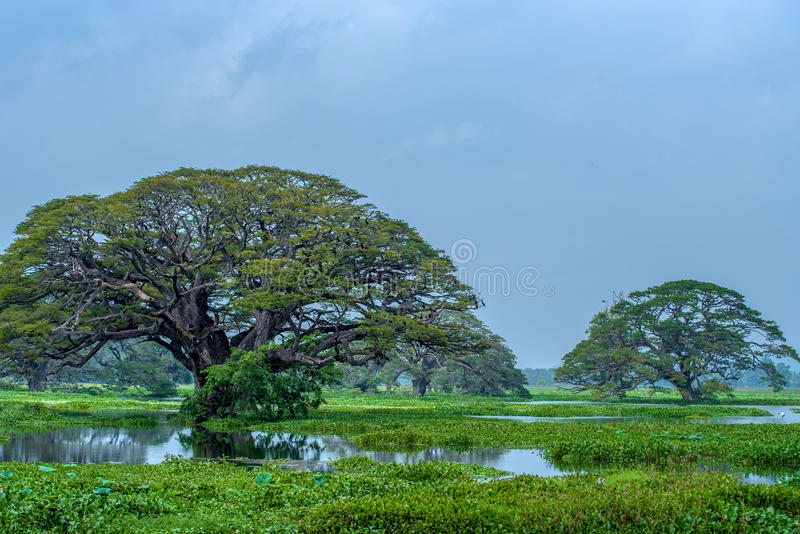 Scenic view of giant trees in lake. Scenic landscape of giant trees standing in lake in Sri Lanka royalty free stock image