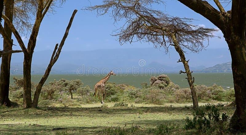 Scenic view of a masai giraffe walking on crescent island near to naivasha lake shore, hills & blue sky in background, photo taken stock photography