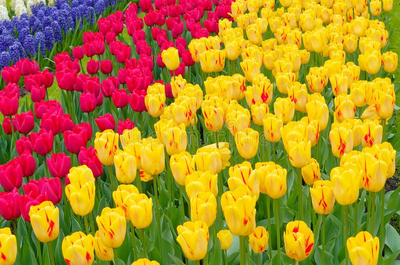 Scenic view over fields of tulips in different colors. Keukenhof, Netherlands royalty free stock photos
