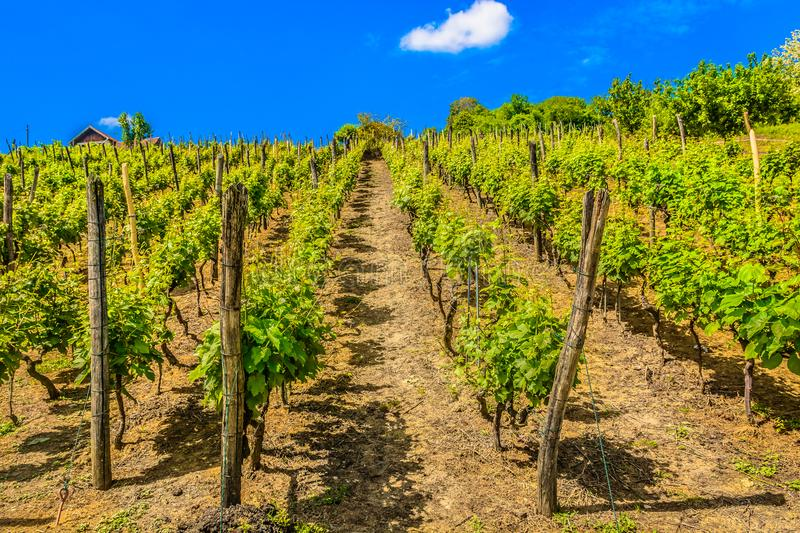 Amazing scenery in Zagorje region, vineyards. royalty free stock images