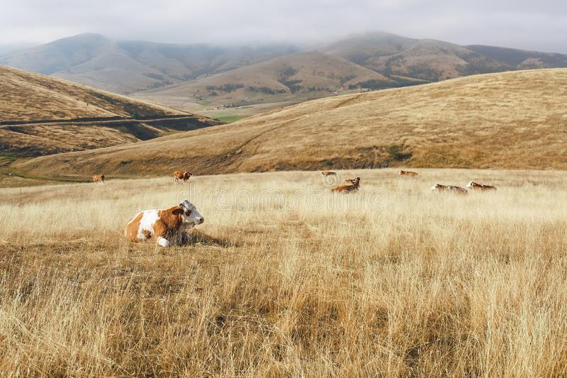 Scenic view of a rural  foggy mountain landscape with a cows,  Zlatibor, Serbia. Scenic view of a rural  foggy mountain landscape with a cows . Nature and royalty free stock image