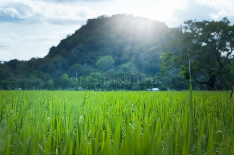 Scenic View of Wheat Field Against Sky royalty free stock images