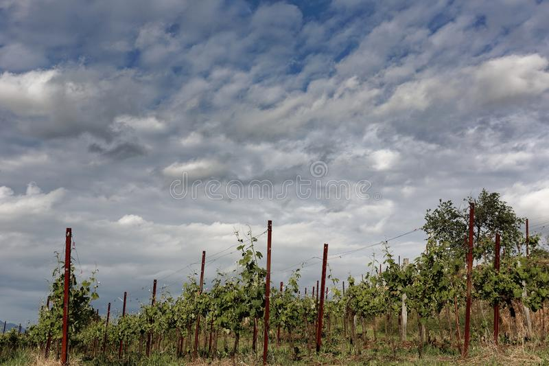 Scenic vineyard in a summer day stock photo