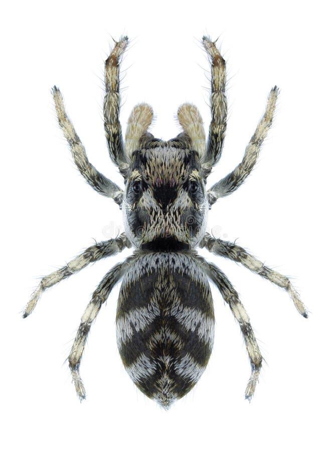 Scenicus de Salticus d'araignée photos libres de droits