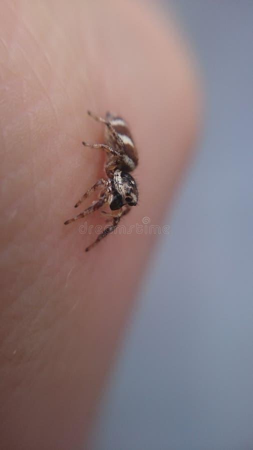 Scenicus Salticus - ζέβρα αράχνη άλματος στοκ εικόνα με δικαίωμα ελεύθερης χρήσης