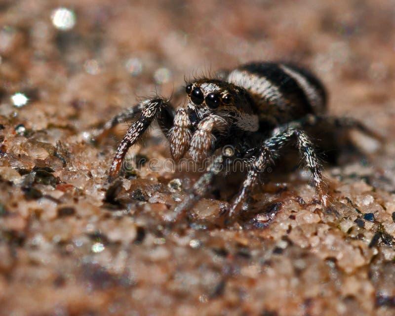 Scenicus Salticus паука зебры стоковое изображение rf