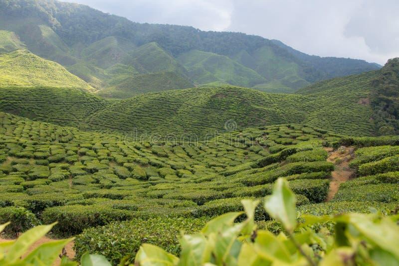 Sceniczna herbaciana plantacja w Cameron średniogórzach w Malaysia zdjęcie stock