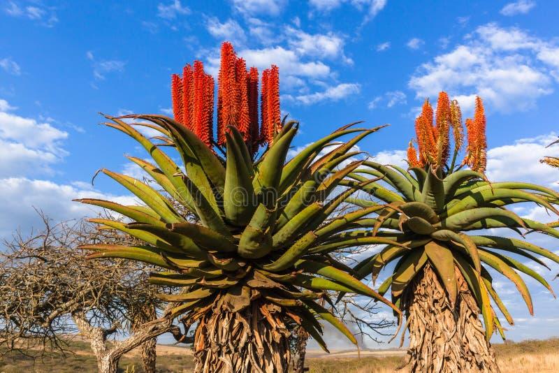 Sceniczne Afrykańskie aloesów kwiatów rośliny fotografia stock